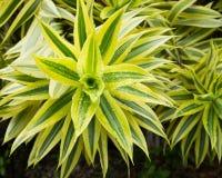 Φύλλα του φυτού κορδελλών Στοκ φωτογραφία με δικαίωμα ελεύθερης χρήσης