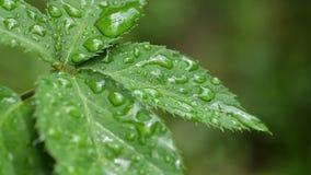 Φύλλα του Blackberry με τις σταγόνες βροχής που ταλαντεύονται στον αέρα απόθεμα βίντεο