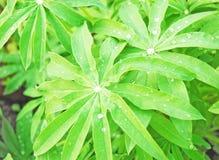 Φύλλα του lupine Στοκ Εικόνες