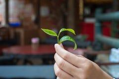Φύλλα τσαγιού εκμετάλλευσης χεριών μιας γυναίκας Στοκ Εικόνα