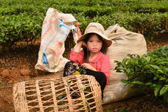Φύλλα τσαγιού επιλογής στο βόρειο Βιετνάμ Στοκ φωτογραφίες με δικαίωμα ελεύθερης χρήσης