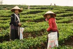 Φύλλα τσαγιού επιλογής στο βόρειο Βιετνάμ Στοκ Φωτογραφίες