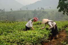 Φύλλα τσαγιού επιλογής στο βόρειο Βιετνάμ Στοκ εικόνα με δικαίωμα ελεύθερης χρήσης