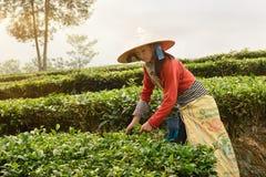 Φύλλα τσαγιού επιλογής στο βόρειο Βιετνάμ Στοκ φωτογραφία με δικαίωμα ελεύθερης χρήσης