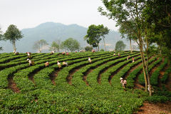 Φύλλα τσαγιού επιλογής στο βόρειο Βιετνάμ Στοκ Εικόνες