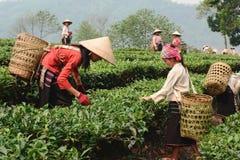 Φύλλα τσαγιού επιλογής στο βόρειο Βιετνάμ Στοκ Φωτογραφία