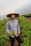 Φύλλα τσαγιού επιλογής στο βόρειο Βιετνάμ Στοκ εικόνες με δικαίωμα ελεύθερης χρήσης