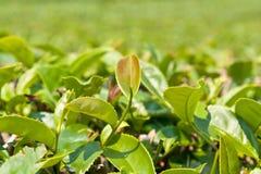 Φύλλα τσαγιού στη φυτεία, Ταϊλάνδη Στοκ Φωτογραφίες