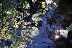 Φύλλα των κρίνων νερού στη λίμνη στο φως του ήλιου Στοκ Φωτογραφίες