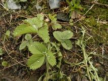 Φύλλα των φραουλών στοκ φωτογραφίες με δικαίωμα ελεύθερης χρήσης