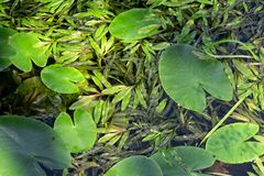 Φύλλα υδρόβιων φυτών που επιπλέουν στην επιφάνεια νερού Στοκ φωτογραφία με δικαίωμα ελεύθερης χρήσης