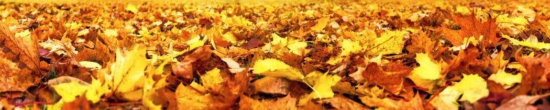 Φύλλα φθινοπώρου, έξοχο ευρύ έμβλημα Στοκ Εικόνες