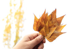 Φύλλα φθινοπώρου εκμετάλλευσης χεριών Στοκ Φωτογραφία