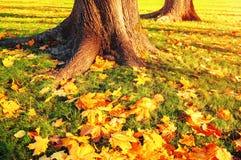 Φύλλα φθινοπώρου κάτω από τα δέντρα φθινοπώρου στο ηλιοβασίλεμα - πάρκο φθινοπώρου στο φως ηλιοβασιλέματος με τα φύλλα φθινοπώρου Στοκ Εικόνες