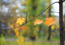 Φύλλα φθινοπώρου με τη μαλακή εστίαση στους Maple Leafs και το φυσικό κίτρινο υπόβαθρο Blured στοκ φωτογραφίες