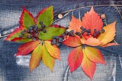 Φύλλα φθινοπώρου με των άγριων σταφυλιών σε ένα υπόβαθρο τζιν Στοκ Φωτογραφίες