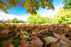 Φύλλα φθινοπώρου - πάρκο του Stanley, Βανκούβερ στοκ φωτογραφίες