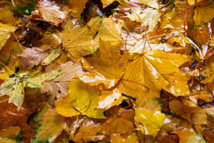 Φύλλα φθινοπώρου πεσμένος από ένα δέντρο πτώσεις βροχής σε τους Στοκ Εικόνες