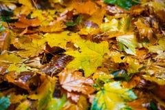Φύλλα φθινοπώρου πεσμένος από ένα δέντρο πτώσεις βροχής σε τους Στοκ Φωτογραφία
