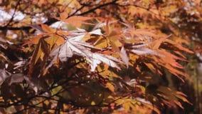 Φύλλα φθινοπώρου πτώσης που φυσούν στον αέρα φιλμ μικρού μήκους