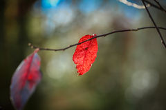 Φύλλα φθινοπώρου σε έναν κλάδο Στοκ Φωτογραφία