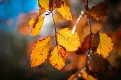 Φύλλα φθινοπώρου σε έναν κλάδο Στοκ Εικόνα