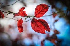Φύλλα φθινοπώρου σε έναν κλάδο Στοκ Εικόνες