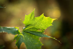 Φύλλα φθινοπώρου σε έναν κλάδο Στοκ φωτογραφίες με δικαίωμα ελεύθερης χρήσης