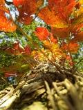 Φύλλα φθινοπώρου σε Shillong Στοκ Εικόνες
