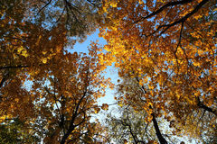 Φύλλα φθινοπώρου στα δέντρα κάτω από τον ουρανό Στοκ εικόνα με δικαίωμα ελεύθερης χρήσης