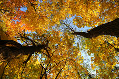 Φύλλα φθινοπώρου στα δέντρα κάτω από τον ουρανό Στοκ φωτογραφία με δικαίωμα ελεύθερης χρήσης