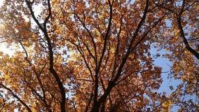 Φύλλα φθινοπώρου στα δρύινα δέντρα απόθεμα βίντεο