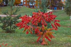 Φύλλα φθινοπώρου στην ακακία Στοκ φωτογραφία με δικαίωμα ελεύθερης χρήσης