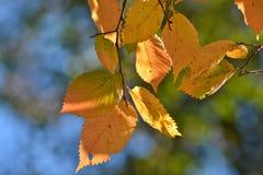 Φύλλα φθινοπώρου στις λεύκες Στοκ φωτογραφία με δικαίωμα ελεύθερης χρήσης