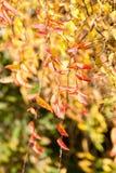 Φύλλα φθινοπώρου στο δέντρο φθινοπώρου Στοκ Φωτογραφίες