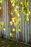 Φύλλα φθινοπώρου στο δέντρο φθινοπώρου Στοκ εικόνες με δικαίωμα ελεύθερης χρήσης