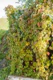 Φύλλα φθινοπώρου στο δέντρο φθινοπώρου Στοκ Εικόνα