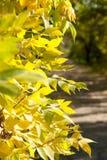 Φύλλα φθινοπώρου στο δέντρο φθινοπώρου Στοκ φωτογραφίες με δικαίωμα ελεύθερης χρήσης