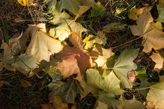 Φύλλα φθινοπώρου στο δέντρο φθινοπώρου Στοκ Φωτογραφία