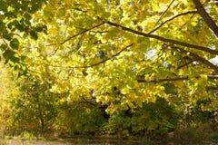 Φύλλα φθινοπώρου στο δέντρο φθινοπώρου Στοκ φωτογραφία με δικαίωμα ελεύθερης χρήσης