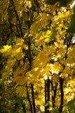 Φύλλα φθινοπώρου στο δέντρο φθινοπώρου Στοκ εικόνα με δικαίωμα ελεύθερης χρήσης