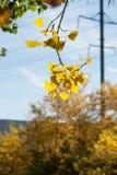 Φύλλα φθινοπώρου στο δέντρο φθινοπώρου Στοκ Εικόνες