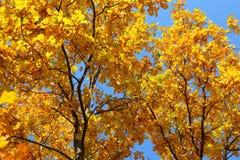 Φύλλα φθινοπώρου στο δρύινο δέντρο Στοκ Εικόνες