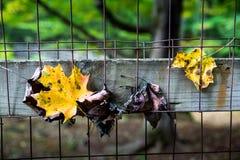 Φύλλα φθινοπώρου στο φράκτη καλωδίων Στοκ Φωτογραφία