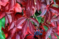 Φύλλα φθινοπώρου του αναρριχητικού φυτού της Βιρτζίνια Στοκ Φωτογραφίες
