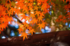 Φύλλα φθινοπώρου του Κιότο Στοκ εικόνες με δικαίωμα ελεύθερης χρήσης