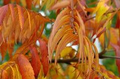 Φύλλα φθινοπώρου του typhina Rhus Στοκ εικόνες με δικαίωμα ελεύθερης χρήσης