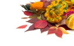 Φύλλα φθινοπώρου των άγριων κολοκυθών σταφυλιών, φύλλωμα. Στοκ φωτογραφία με δικαίωμα ελεύθερης χρήσης