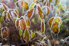 Φύλλα φθινοπώρου/χειμώνα που καλύπτονται στην πάχνη ξημερωμάτων Στοκ Εικόνες