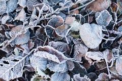 Φύλλα φθινοπώρου/χειμώνα που καλύπτονται στην πάχνη ξημερωμάτων Στοκ Φωτογραφία